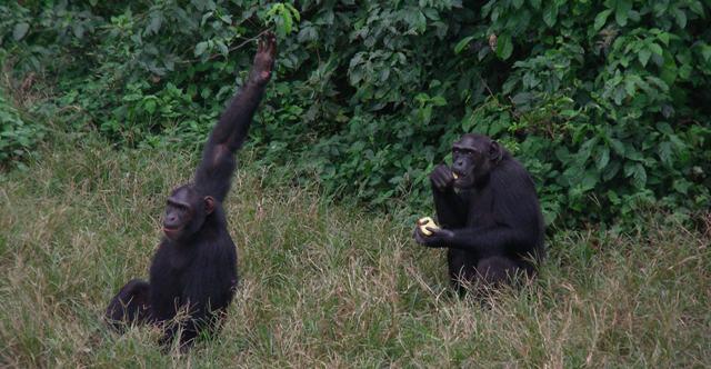 chimpanzee ngamba island