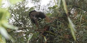 golden monkey eating bamboo shoot