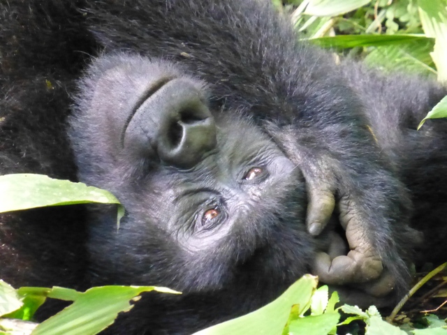 trek to see gorillas in uganda