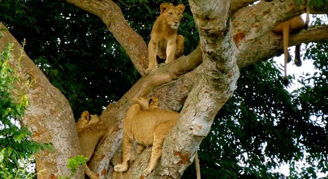 tree-lions-uganda-safari