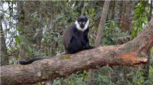 l'hoest monkey nyungwe forest