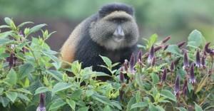 golden-monkey-volcanoes-rwanda