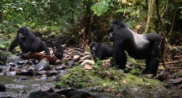 mountain gorillas bwindi uganda