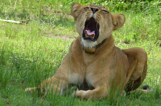 lion i queen elizabeth national park