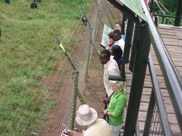 viewing the chimps at Ngamba Island