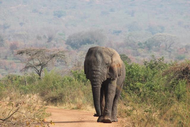 An elephant in Akagera National Park Rwanda