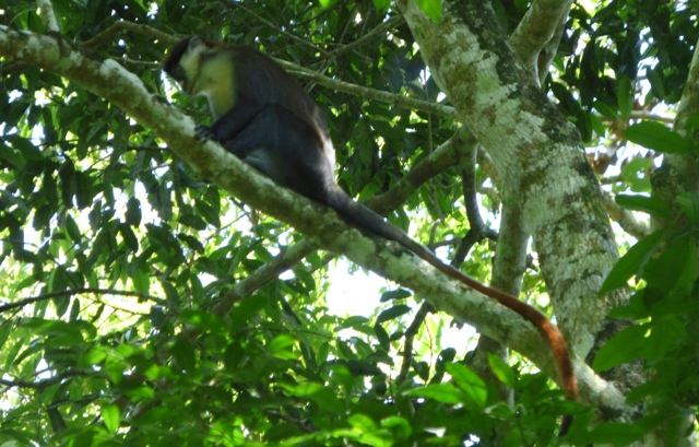mpanga-forest-red-tailed-monkey