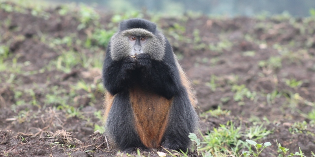 a golden monkey in volcanoes national park musanze