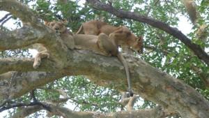 tree climbing lions ishasha uganda
