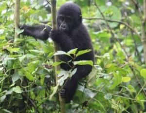 gorilla-bwindi