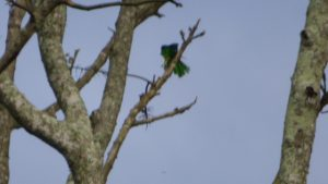 African Emeral Cuckoo - my mega zoom (2100) was still not sufficient to capture its beauty!