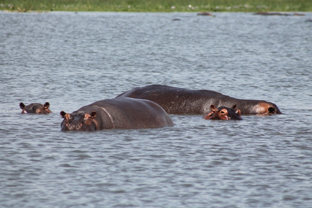 hippos in the nile in murchison falls national park