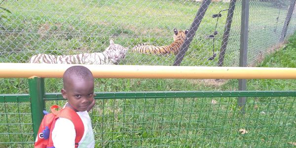 a child enjoys watching tigers for the first time at the Entebbe zoo in Uganda