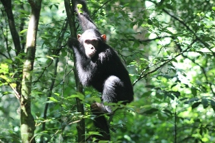 chimpanzee-uganda-thumbnail