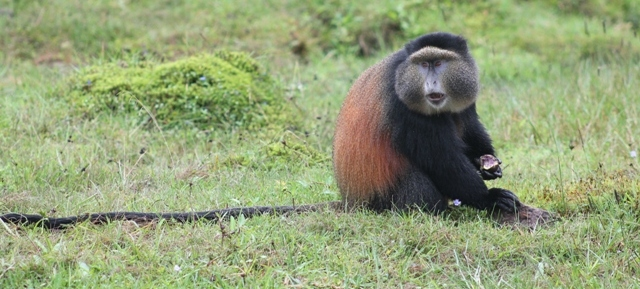 rwanda golden monkeys