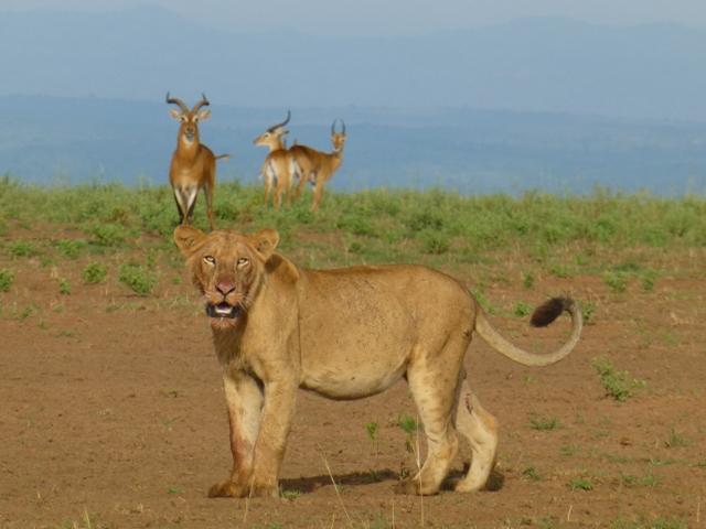 lion murchison falls uganda
