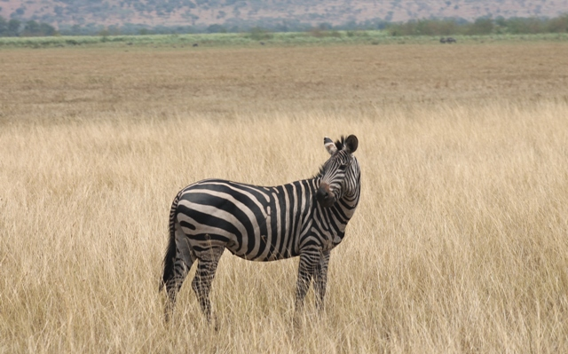 A zebra sighted on Akagera National Park safari