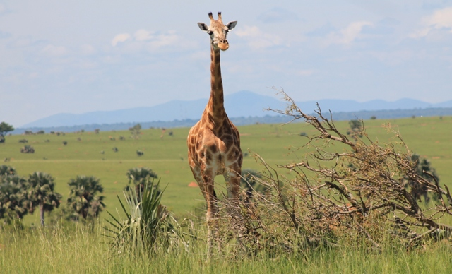 giraffe-in-murchison-falls-park-uganda