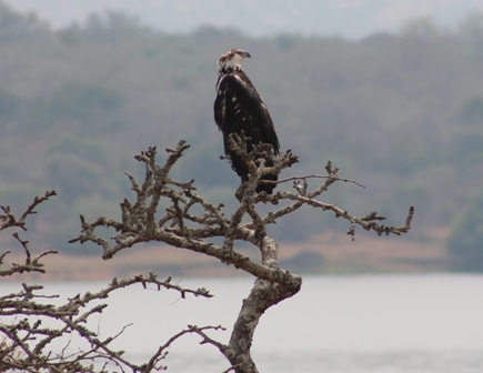 Fish eagle in Akagera national park