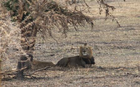 Lions in Akagera National Park Rwanda