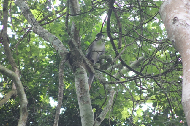 red tailed monkey at Mabira Forest Reserve