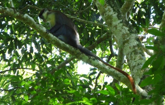 mpanga-forest-red-tailed-monkey