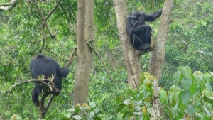 chimps-entebbe-zoo