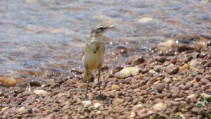 yellow-wagtail-entebbe