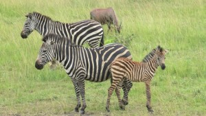 zebras-in-lake-mburo-national-park