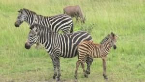 zebras-in-lake-mburo-national-park