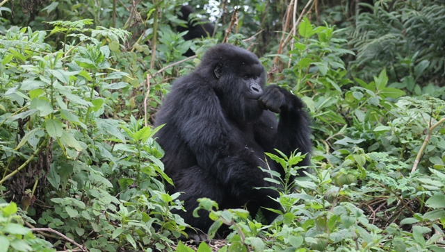 mountain-gorilla-in-rwanda