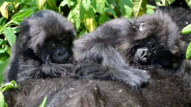 baby-gorillas-rwanda