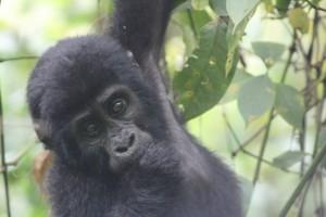 gorilla in uganda's bwindi national park