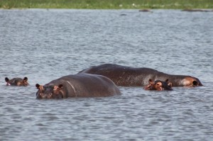 hippos-in-murchison-falls-national-park