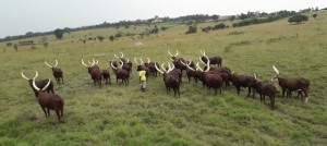 Ankole long horned cows